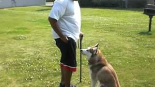 Tips On Training Siberian Husky