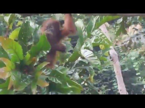 Sumatran orangutan juvenile