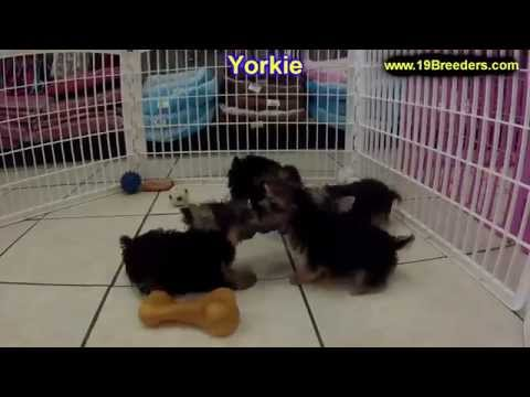 Yorkshire Terrier, Yorkie, Puppies, Dogs, For Sale, In Aurora, County, Illinois, IL, 19Breeders