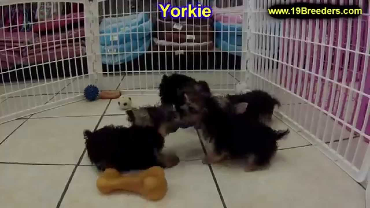 Yorkshire Terrier Yorkie Puppies Dogs For Sale In Aurora