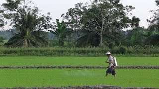 Vietnam rice boom piles pressure on farmers and the environment