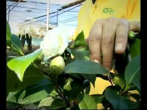 El jardinero en casa camelias youtube for Jardinero en casa
