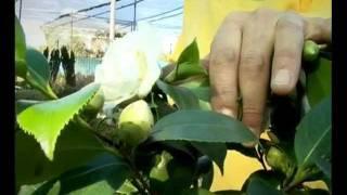 El jardinero en casa - CAMELIAS