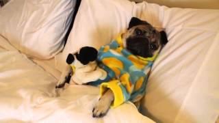 Adorable Sleepy Pug In A Super-cute Duckling Onesie Breaks The Internet