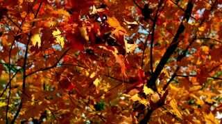 Скачать Slow Motion Autumn Leaves Falling From Branch