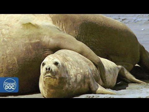 Apareamiento Elefantes Marinos: Patagonia - YouTube