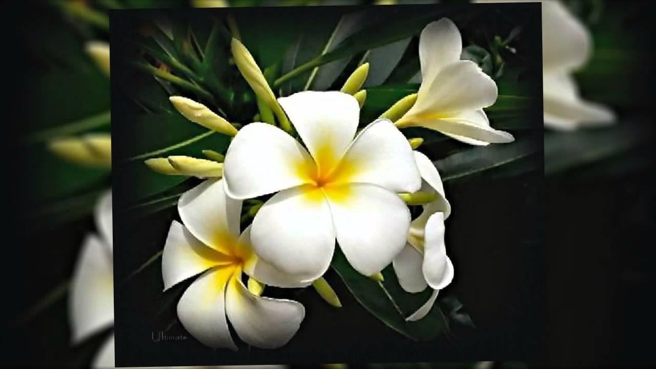 flor de mayo plumeria youtube