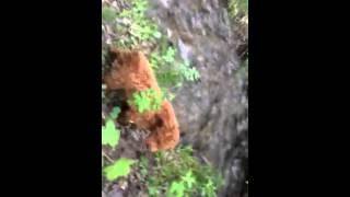 Adonai Red Poodle Pups Granma Cathie