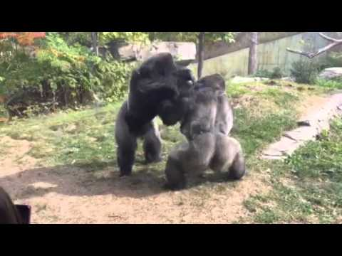 "Omaha Zoo - Gorilla Fight ""Where's The Zookeepers"""