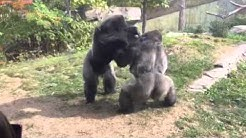 """Omaha Zoo - Gorilla Fight """"Where's the Zookeepers"""""""