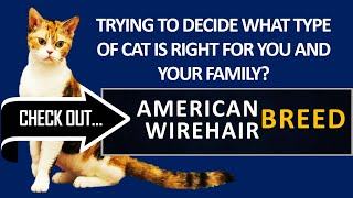 What type of cat is right for you? Check out the American Wirehair Cat