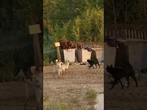 """Возле """"Роснефти"""" в Охе гуляет семья медведей"""