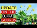 Luffa Update 8-29-17