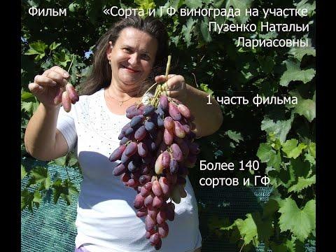 Сорта  и ГФ винограда на участке Пузенко Натальи Лариасовны