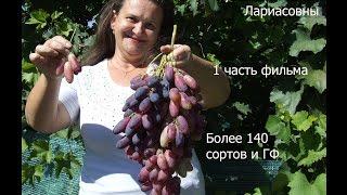 Сорта  и ГФ винограда на участке Пузенко Натальи Лариасовны(Создан фильм в нескольких частях о сортах винограда, растущих и плодоносящих на участке ученого агронома..., 2016-03-14T14:33:17.000Z)