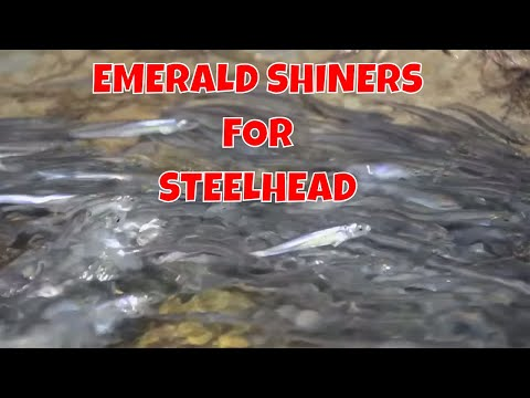 Steelhead Fishing With Emerald Shiners