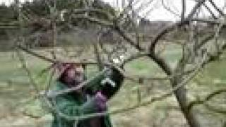 Fruitwise guide to apple tree pruning-the Bramley, part 2