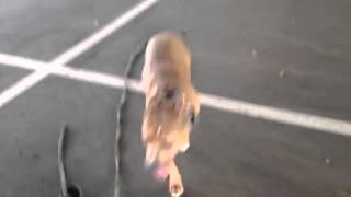 Jj Pit Bull Remote Collar Recall Philadelphia Dog Training
