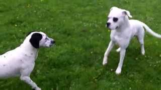 Boxer Babe Red  Meets Dalmation X Pheobe In The Rain  At A & B Dogs Boarding & Training Kennels.