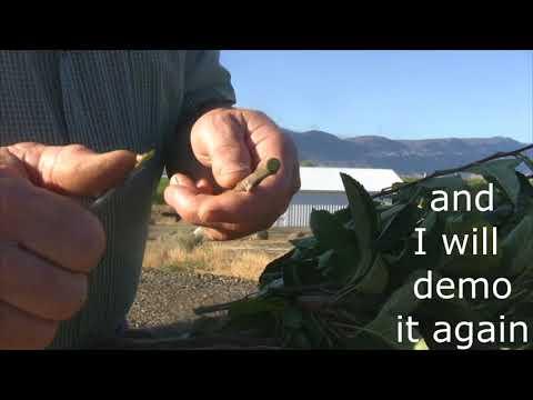 Grafting Season 2018 - day 24 - how to bud graft apple trees