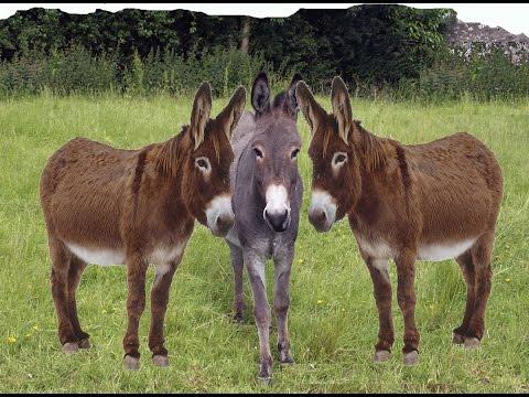 donkey sound effect