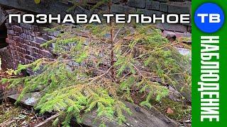 Высотная ёлка (Познавательное ТВ, Артём Войтенков)