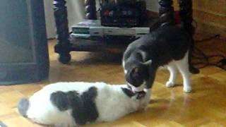 My Fat Cat Fight Club