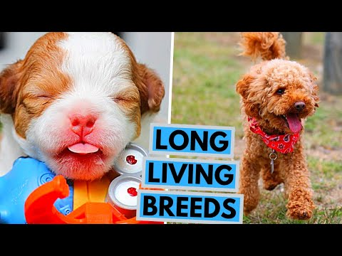 Top 10 Dog Breeds With Longest Lifespan