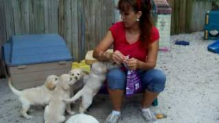 Puppy Training Labrador Puppies