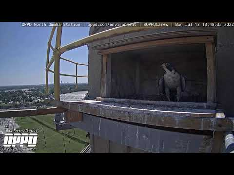 North Omaha Station Peregrine Falcon Watch