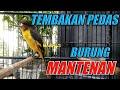 Burung Mantenan Gacor Cocok Untuk Masteran Murai Batu Dan Cucak Ijo  Mp3 - Mp4 Download