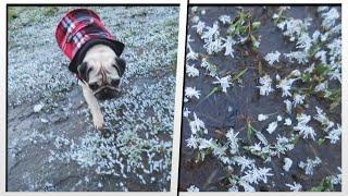 Icy Pug Walk   Moretdm