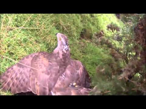 hunting goshawk 14mp4