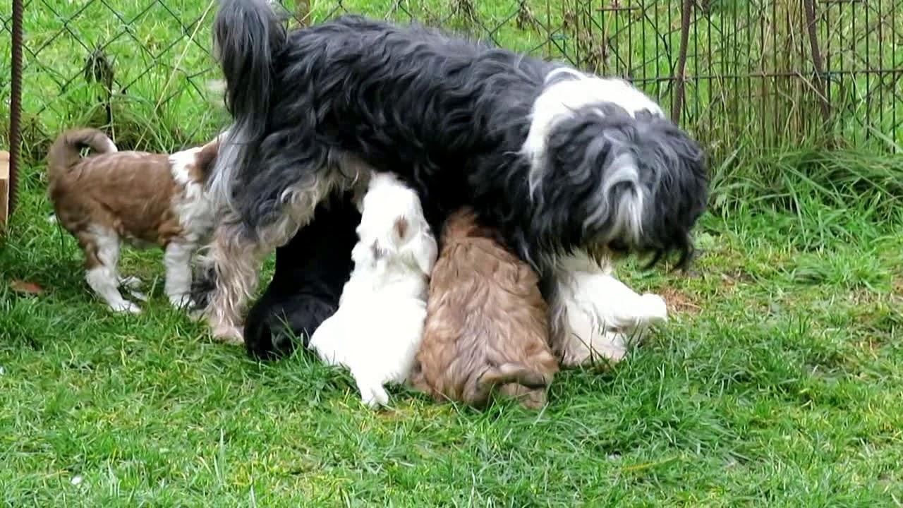 Tibet Terrier von der Ingoklippe - YouTube