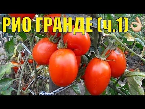 Урожайные сорта томатов. Рио гранде.