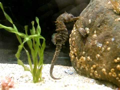 seahorse eating baby fish.AVI - YouTube