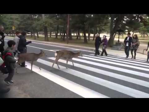 画像: Deer in Nara crossing the street www.youtube.com