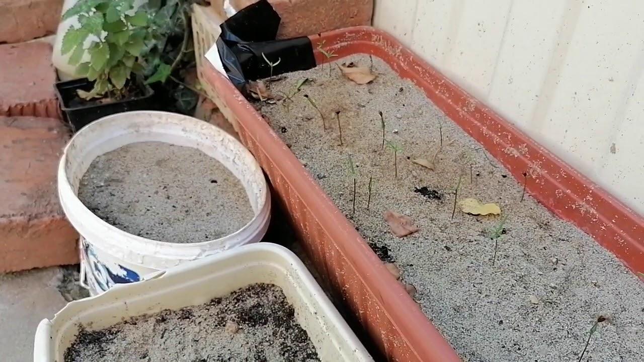 как вырастить плющ из семян