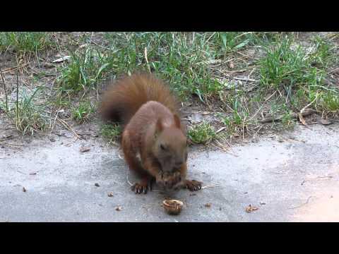 Вопрос: Как белки запоминают, где они спрятали орехи?