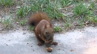 Белки едят орехи прямо из рук