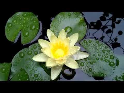 Водяная лилия: пересаживание в домашних условиях