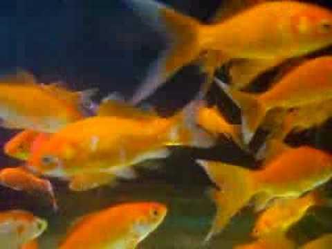 Goldfish Goudvis Screensaver