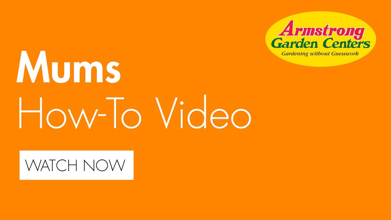 How To Plant Mums   Armstrong Garden Centers