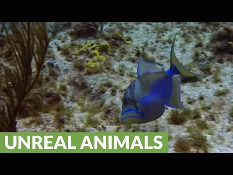 Beautiful & Crafty Queen Triggerfish Shows Remarkable Intelligence