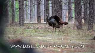 Wild Turkey Hens Cutting Yelping and Calling