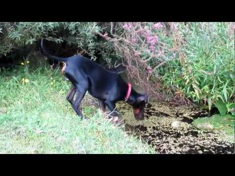 Chester the Manchester Terrier rescues the ball