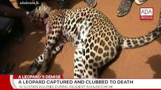 Villagers capture and kill leopard in Kilinochchi (English)