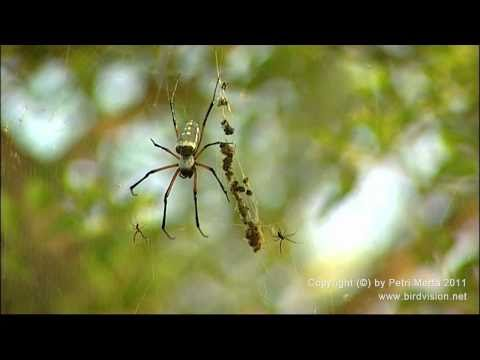 They're An Easy Match For  is listed (or ranked) 2 on the list Giant Orb Weaver Spiders Exist, And They're Terrifying