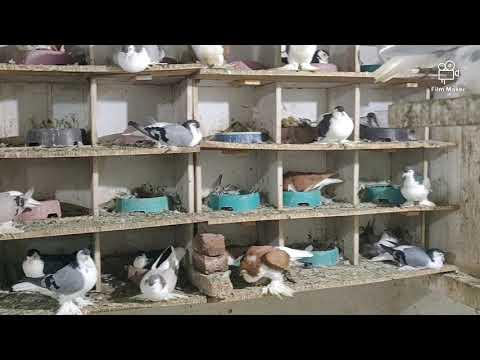 My lahore pigeons
