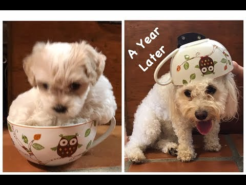 Our Puppy Growing up - Maltipoo